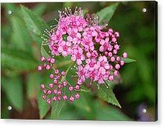 Pink Acrylic Print by Beverly Hammond
