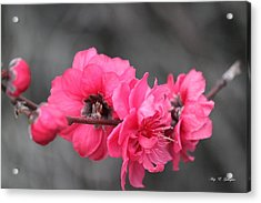 Acrylic Print featuring the photograph Pink Blossoms  by Amy Gallagher