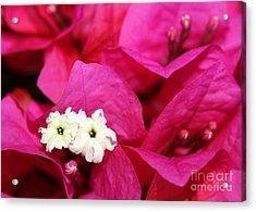 Pink Bouganvillea Acrylic Print by Sabrina L Ryan