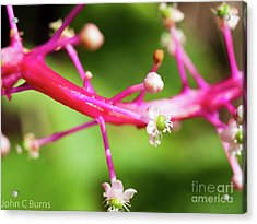 Acrylic Print featuring the photograph Pink Buds by John Burns