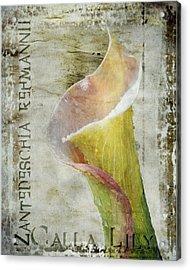 Pink Calla Lily Acrylic Print