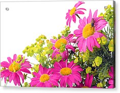 Acrylic Print featuring the photograph Pink Camomiles And Bug Card by Aleksandr Volkov