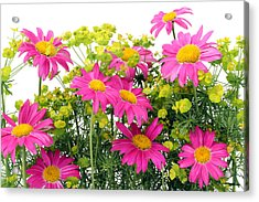 Acrylic Print featuring the photograph Pink Camomiles Background by Aleksandr Volkov