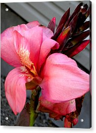 Pink Canna Acrylic Print by Renate Nadi Wesley