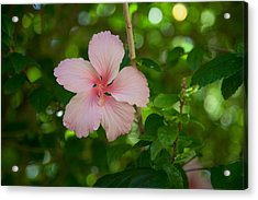 Pink Acrylic Print by Carole Hinding