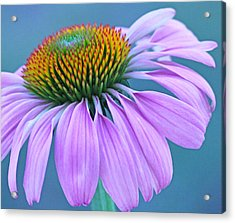 Pink Coneflower Acrylic Print by Becky Lodes