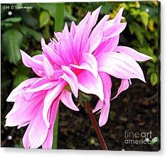Pink Dahlia Acrylic Print by M C Sturman