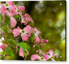 Pink Dogwood Blooms Acrylic Print