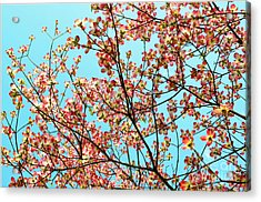 Pink Dogwood Sky Acrylic Print by Debbie Portwood