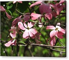 Pink Dogwood Tree Acrylic Print