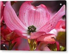 Pink Dogwood Acrylic Print