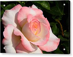 Pink Edge Rose Acrylic Print