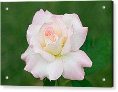 Pink Edge White Rose Acrylic Print by Atiketta Sangasaeng