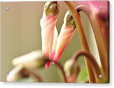 Pink Flower Bud Acrylic Print by Megurojin