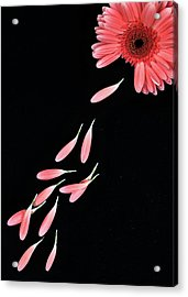 Pink Flower With Petals Acrylic Print by Photo by Bhaskar Dutta
