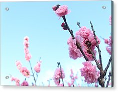 Pink Flowers Acrylic Print by Allen Jiang