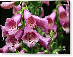 Acrylic Print featuring the photograph Pink Foxglove Flowers by Denise Pohl