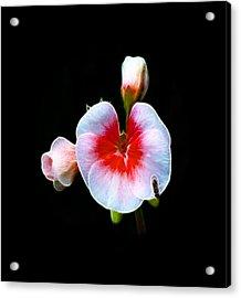 Acrylic Print featuring the photograph Pink Geranium by Lynn Bolt