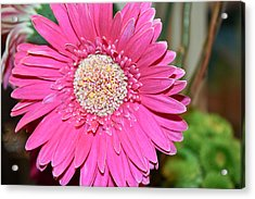 Acrylic Print featuring the photograph Pink Gerbera Daisy by Ann Murphy