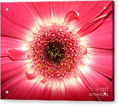 Acrylic Print featuring the photograph Pink Gerbera Daisy Close-up by Kerri Mortenson