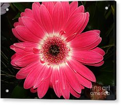 Acrylic Print featuring the photograph Pink Gerbera Daisy by Kerri Mortenson