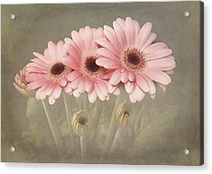 Pink Gerbera Daisys Acrylic Print