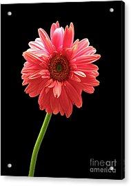 Pink Gerbera Acrylic Print