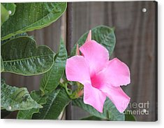 Pink Hibiscus 2 Acrylic Print