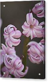 Pink Hyacinth 2 Acrylic Print by Teresa Mucha