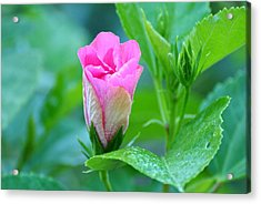 Acrylic Print featuring the photograph Pink Hybiscus Bud by Jodi Terracina