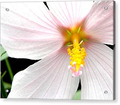 Acrylic Print featuring the photograph Pink Hybiscus by Jodi Terracina
