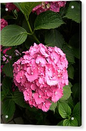 Acrylic Print featuring the digital art Pink Hydranga by Claude McCoy