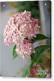 Acrylic Print featuring the photograph Pink Hydrangea by France Laliberte