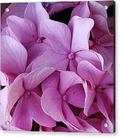 Pink Hydrangea Up Close Acrylic Print by Bruce Bley
