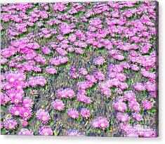 Pink Ice Plant Flowers Acrylic Print