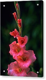 Pink Iris On Green Acrylic Print