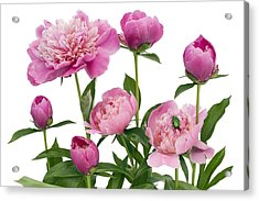 Acrylic Print featuring the photograph Pink June Peonies And A Green Bug by Aleksandr Volkov