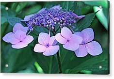 Pink Lacecap Hydrangea Acrylic Print by Becky Lodes