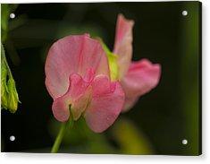 Pink Lady Acrylic Print by Rob Hemphill