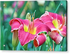 Pink Lilies Acrylic Print by Becky Lodes