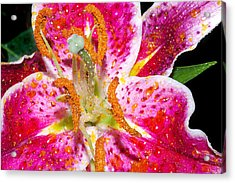Pink Lilly In The Rain Acrylic Print by Michelle Armstrong