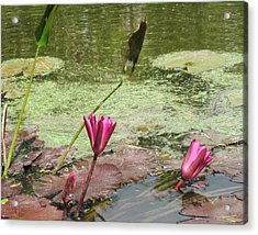 Pink Lilly Pond Acrylic Print by Rosie Brown