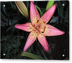 Pink Lily Acrylic Print by Kate Gallagher