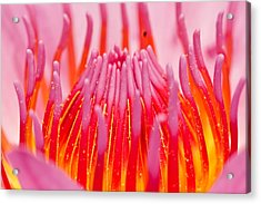 Pink Lotus In Thailand Acrylic Print by Chatchawin Jampapha