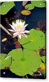 Pink Lotus Acrylic Print by Pauline Ross