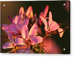 Pink Morning Acrylic Print