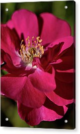 Acrylic Print featuring the photograph Pink Of Rose by Joy Watson