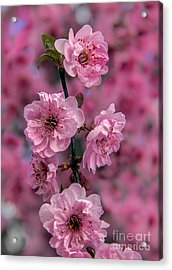 Pink On Pink Acrylic Print by Robert Bales