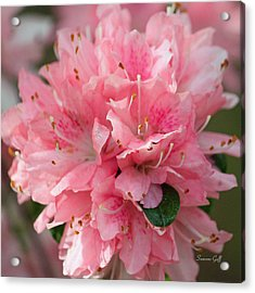 Pink On Pink Squared Acrylic Print by Suzanne Gaff