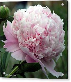 Acrylic Print featuring the photograph Pink Peony Perfection by Penny Hunt